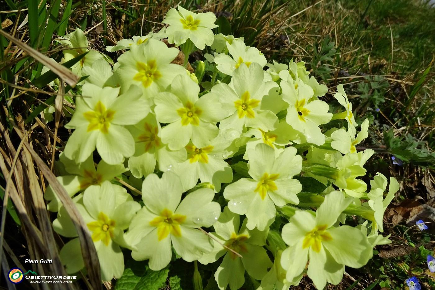 Primavera d 39 intorno brilla nell 39 aria 30 primule gialle for Primule immagini