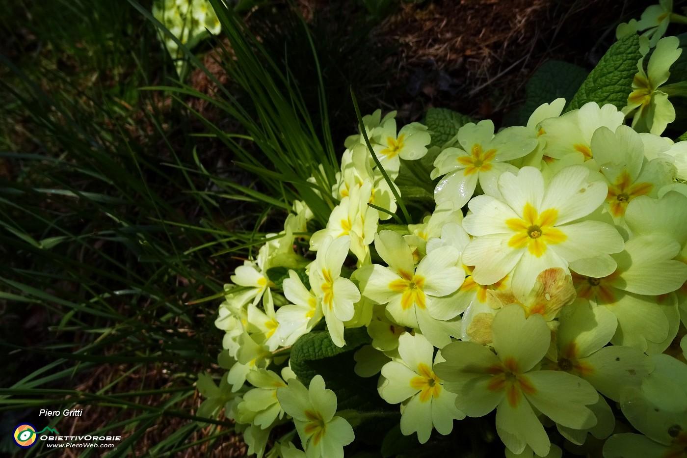 Primavera d 39 intorno brilla nell 39 aria 33 primule gialle for Primule immagini
