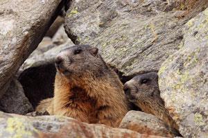 Risultati immagini per marmotte letargo